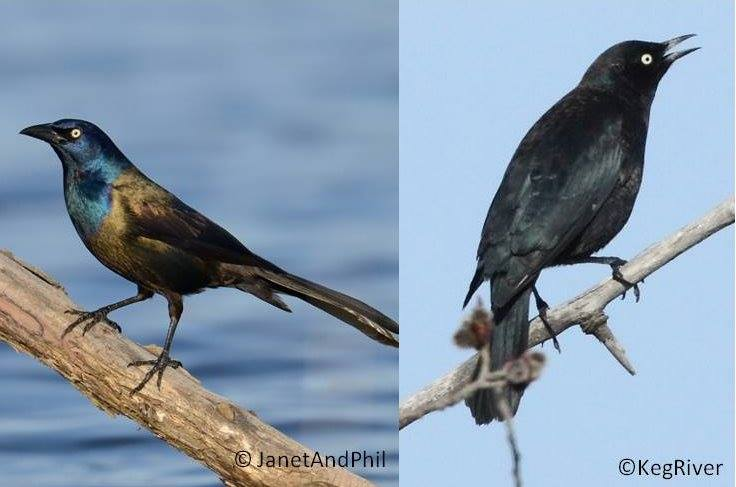 Male Common Grackles (left) have glossy purple heads, heavy bills, and elongated bodies. In the spring, male Rusty Blackbirds (right) are a glossy black with a more slender bill and a less wedge-shaped tail.