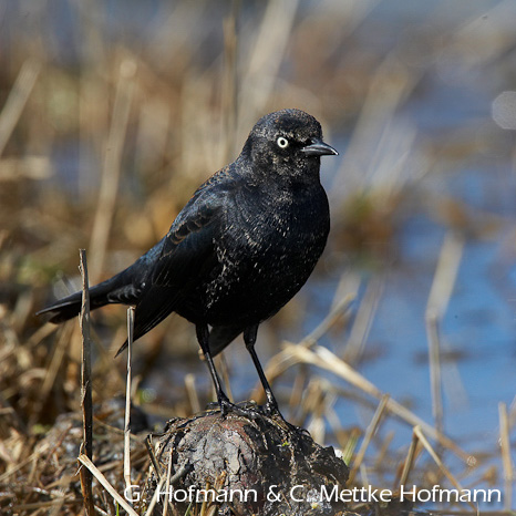 rusty_blackbird
